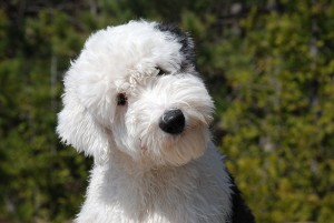 Old English Sheepdog Puppy by Squigman