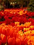 Orange tulips, photo by gilder_2001/flickr