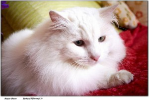 Turkish Angora Cat, photo Moyan Brenn