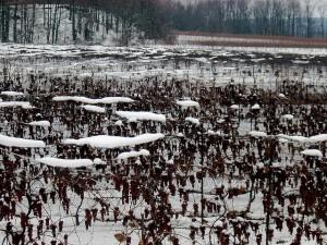 Frozen grapes on the vine in Niagara, photo Chris Hatfield
