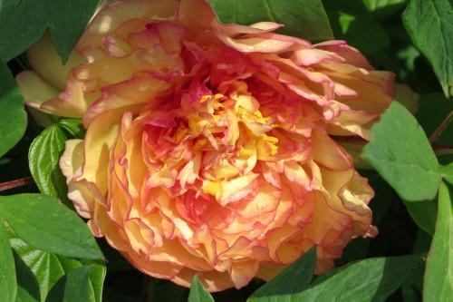 Peach peonies at Toronto Botanical Garden