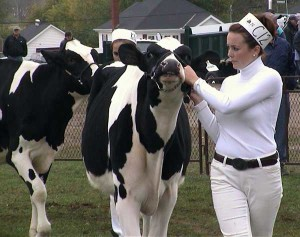 Holstein Cattle Competition at Norwood Fall Fair by Jeff Dornan
