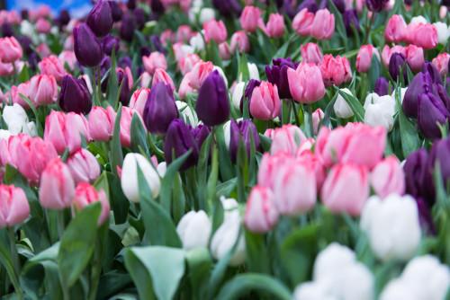 Pioneer Flower Farm Tulips, photo JulesDesign.ca