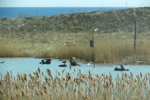Waterfowl at wetlands at Tommy Thompson Park
