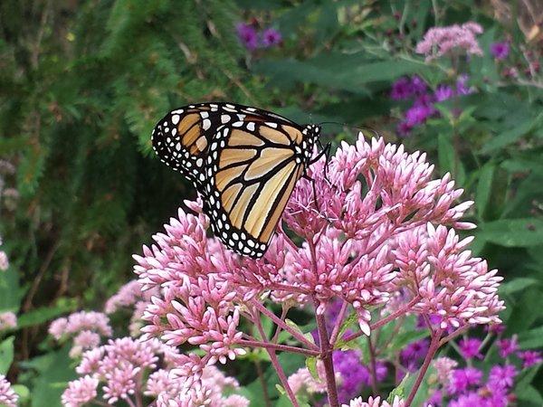 Monarch butterfly in garden at Rosetta McClain Gardens