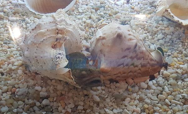Sarcastic Fringehead at Curious Creatures exhibit at Ripley's Aquarium of Canada in Toronto