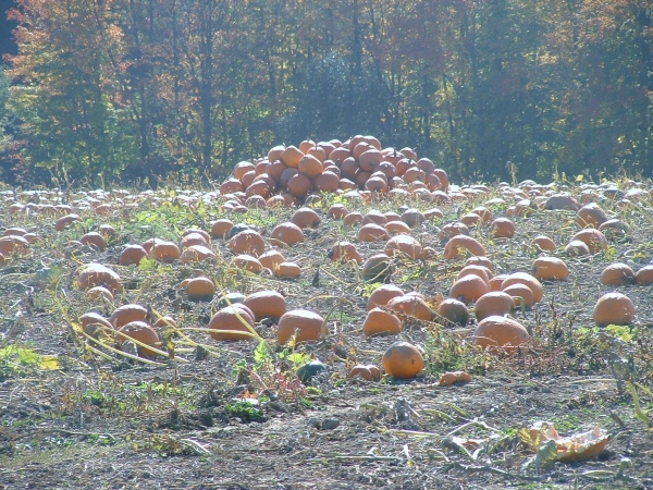 Visiting a pumpkin patch is one of the most fun fall activities for families in Toronto.