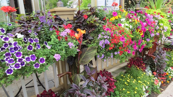 Annual flowers provide a burst of colour such as these flowers on Queen Street in Niagara-on-the-Lake, Ontario. Find out how to care for annuals.