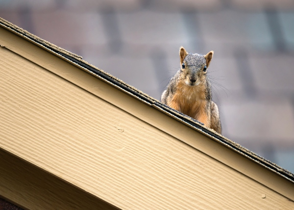 Read these tips to learn how to prevent squirrels from entering your attic, photo shutterstock_1412669123 (1)